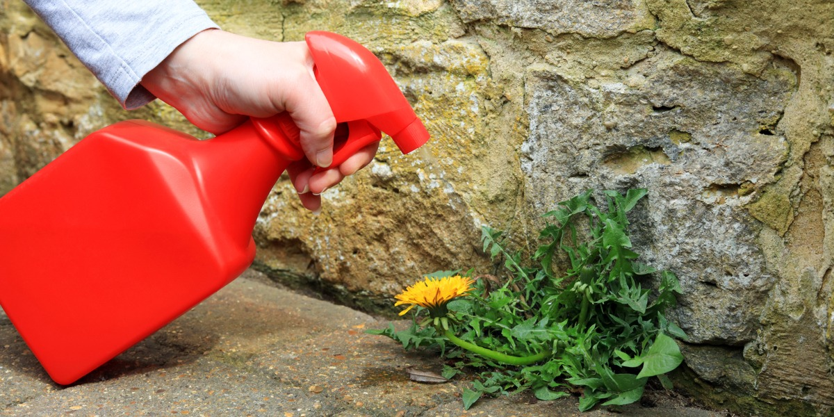 A woman spraying a weed killer on a dandelion