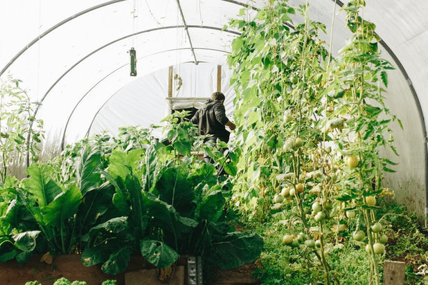 A man is working inside his greenhouse