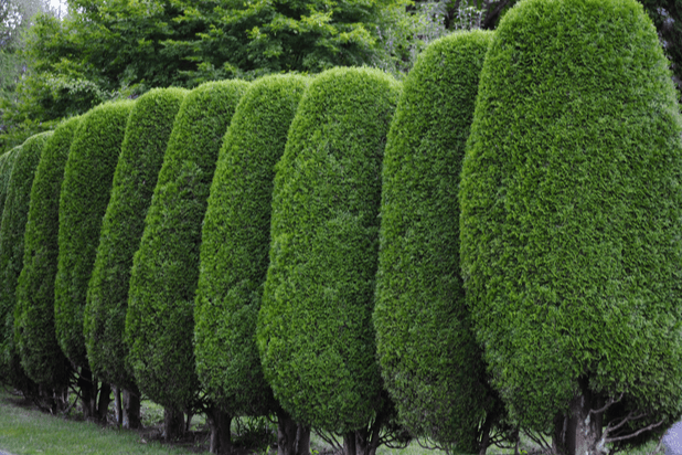 A neatly trimmed hedge. A perfect way to reduce road noise