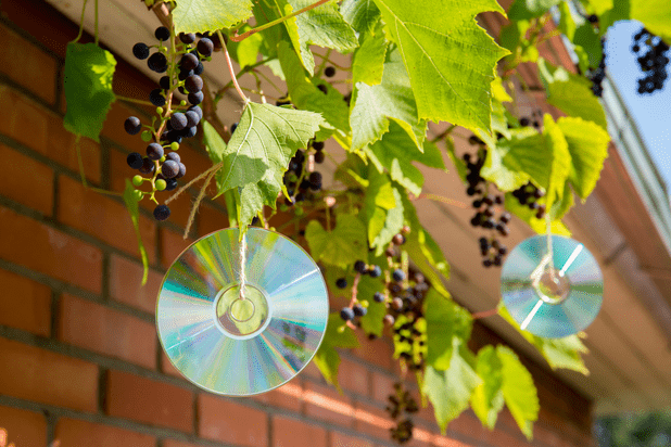 Hanging old CDs for bird repellent