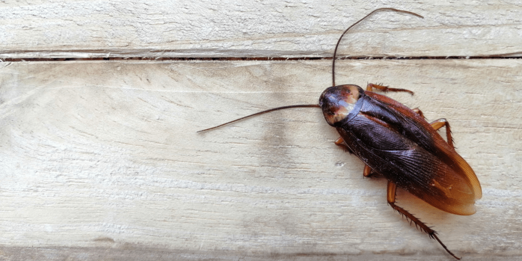 brown cockroach sitting on wooden floor surface