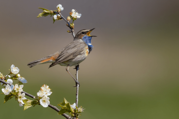 A closeup shot of a march wren bird perched on a tree branch with white flowers